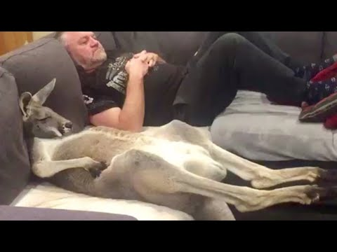 Rescued Kangaroo Loves Lounging on the Couch
