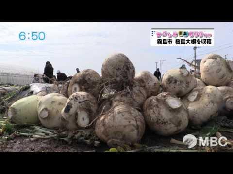 生徒が育てた桜島大根を収穫(2016年1月27日放送)