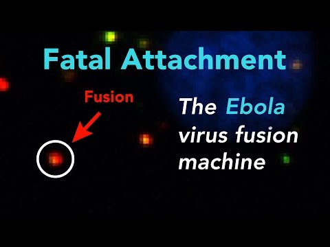 Fatal Attachment: Watch the Ebola virus fusion machine in action inside a human cell