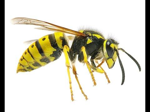 Что делать если укусила пчела? Как снять опухоль при укусе осы или пчелы
