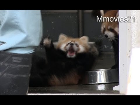 Baby Red Panda Gets Taken by Surprise, Can't Hold Its Ground – Video