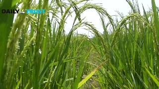 Kebbi celebrates huge rice production