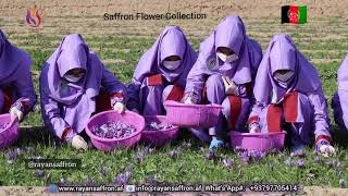 Saffron Flower Collection Stage