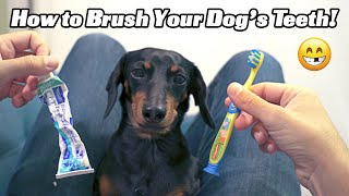 How to Brush Your Dog's Teeth with Crusoe the Dachshund