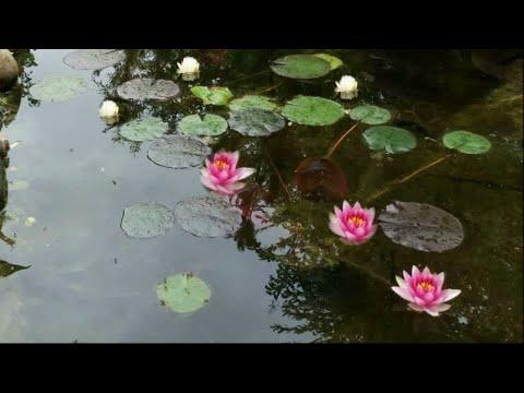 Как посадить Нимфеи в Пруд. Правильный уход для обильного цветения кувшинок, водяных лилий