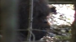 Bigfoot Video Claims 2013: Footage, Evidence Claimed By Researchers In New Video