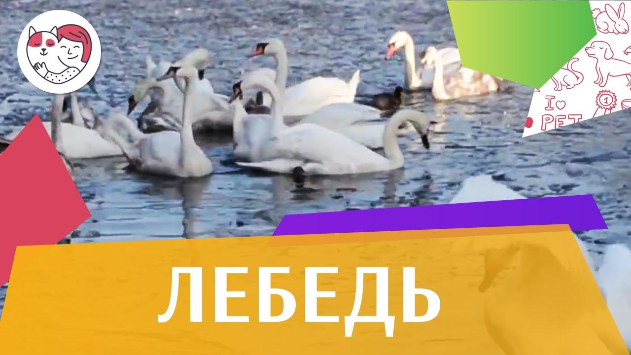 Лебедь Семейные отношения на ilikepet