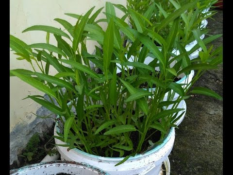 Video menanam kangkung di pot ember bekas