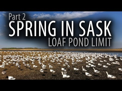spring-in-sask--100-birds--snow-goose-hunting-canada--part-2