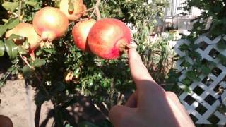 How to tell if Pomegranate Fruit is ready to be picked  Part 1