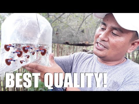 HARVESTING & LOADING hundreds of MOZAIC DUMBO GUPPY! - Free