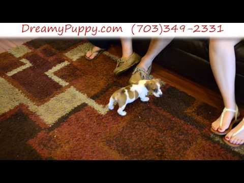 Playful Jack Russell Terrier Male Puppy