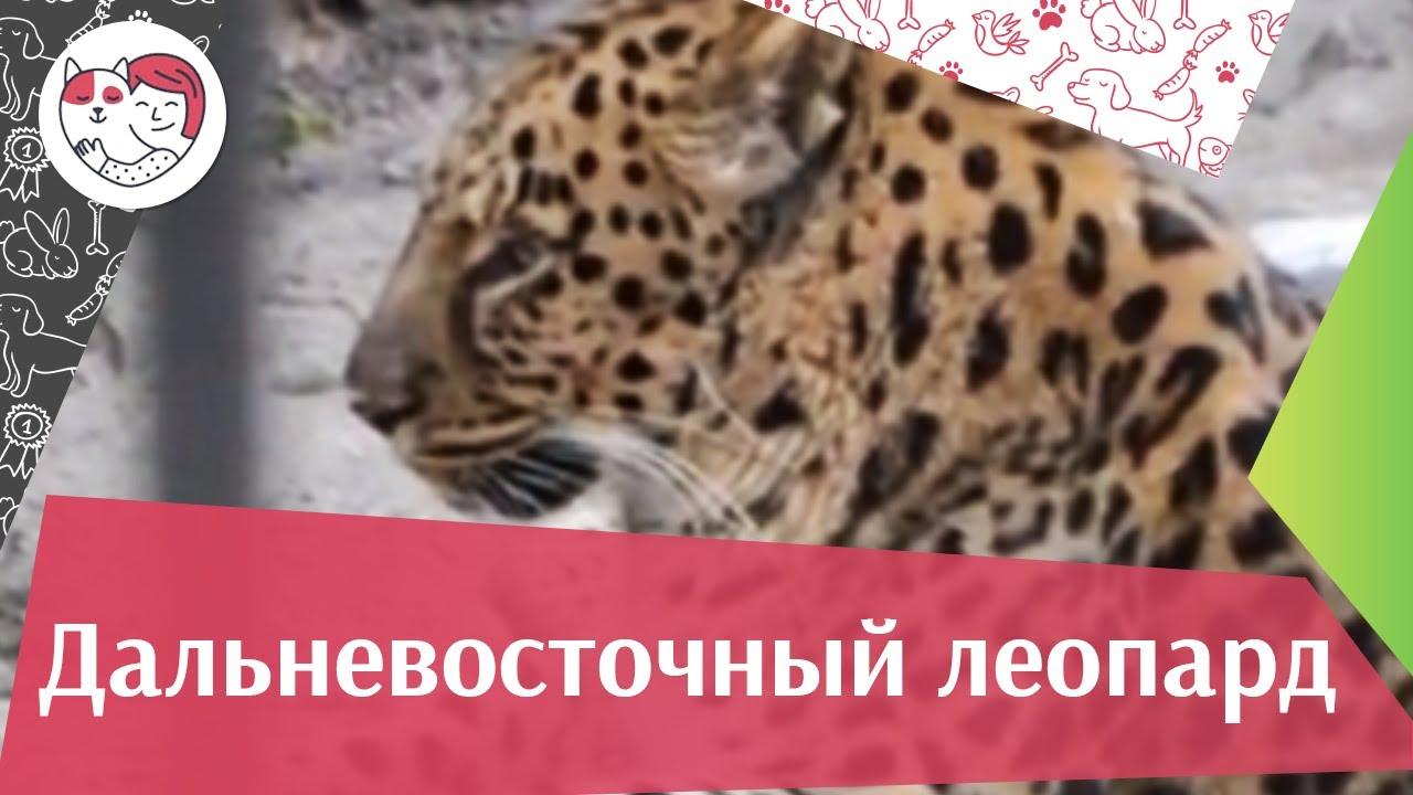 Дальневосточный леопард Внешний вид на ilikepet