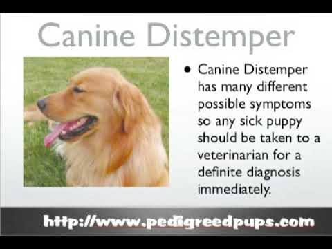 Video Canine Distemper - Dog Distemper - Dog Symptoms and Diseases