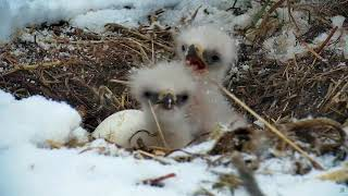 DECORAH EAGLES ◕ EAGLETS 🐣🐣 HILARIOUS!!! TINY EAGLETS FIGHTING IN THE SNOW.