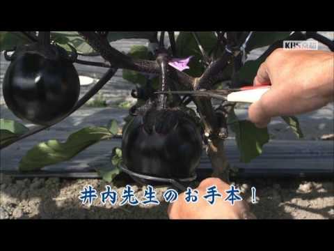 KBS京都テレビ 「あぐり京都」 賀茂なす 井内さん(亀岡市) 2017年6月放送