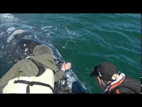 Clip von einer OCEANO MEERZEIT Whale Watching Reise in die Baja California zu den Grauwalen - und anderen großen Walen dieses Planeten. Begegnungen ganz unerwartet und ganz nah...