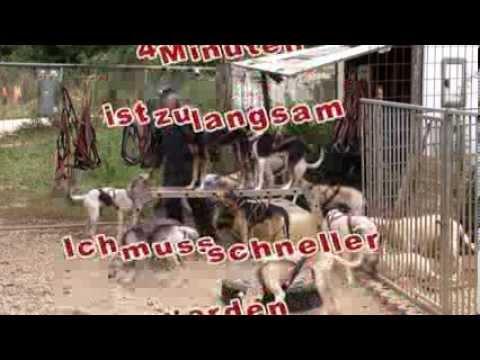 12 Hunde ins Geschirr bekommen