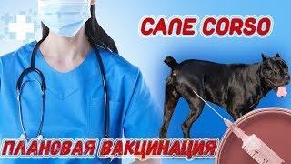 Плановая прививка собаки Кане Корсо Деррека #canecorso
