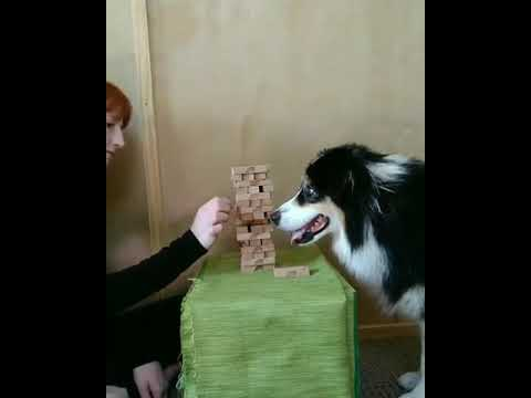 This Clever Dog is a Jenga Pro