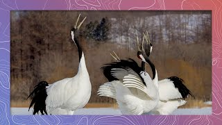 Endangered Red-crowned Crane Mating Dance in Japan