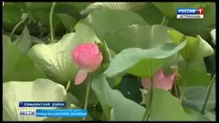В Астраханской области раскрылись первые бутоны лотоса