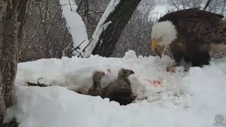 Decorah Eagles~N2B-A Snowy Meal-Dad Feeds the D's_4.18.18