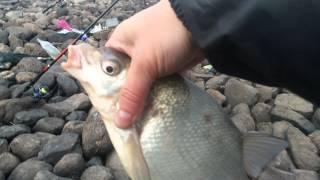 Клев рыбы в шексне
