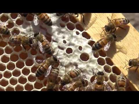 пчеловодство .осмотр роёв и отводков 25,04,2017