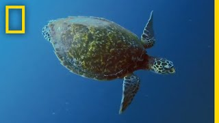Sea Turtles 101 | National Geographic