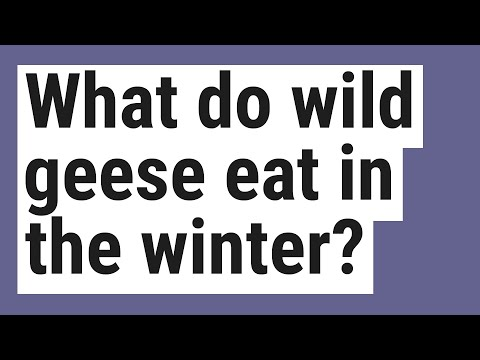, title : 'What do wild geese eat in the winter?