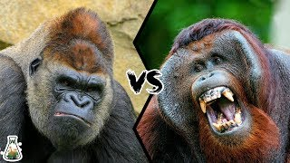 GORILLA VS ORANGUTAN - Who is the king of the Great Apes Family?