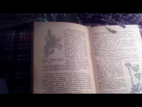 Цветы коровяк (коровяк скипетровидный), описание и лечебное применение.