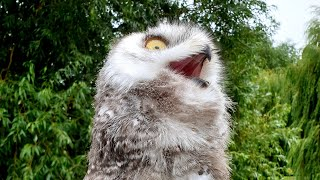 Visiting cutie pie Dobrynya the snowy owl, eagle-owl Varvara and falconer Sergey with his pupils
