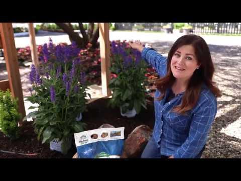 , title : 'Enjoying Perennial Salvia Plants in your Garden