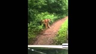 В приморье гуляет тигр (район п.Пограничный) Скачать в HD