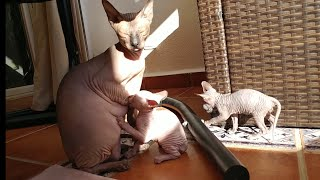 Sphynx kittens routine day / 5 weeks old / DonSphynx