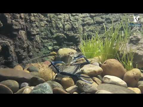 กุ้งก้ามกราม คลินิคปลาสวยงาม