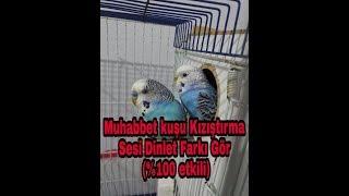 """Muhabbet Kuşu Kızıştırıcı Ses """"ÇILDIRACAK""""(%100 Etkili Dinlet Farkı Gör) 1 SAAT"""