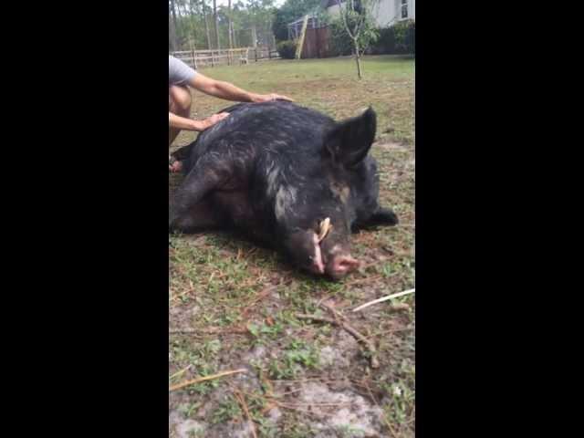 Danny The Friendly Feral Hog