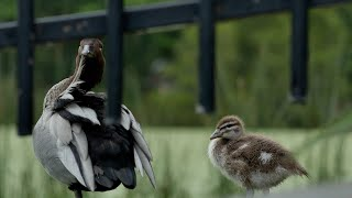 Juvenile Wood Duck Update