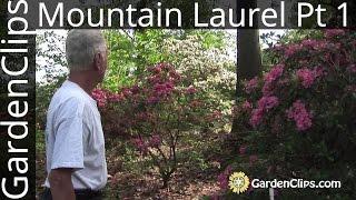 Mountain Laurel - Kalmia latifolia - with Dick Jaynes - Part 1 of 3