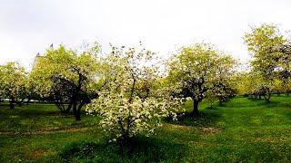 Яблоневый сад. FPV Freestyle.