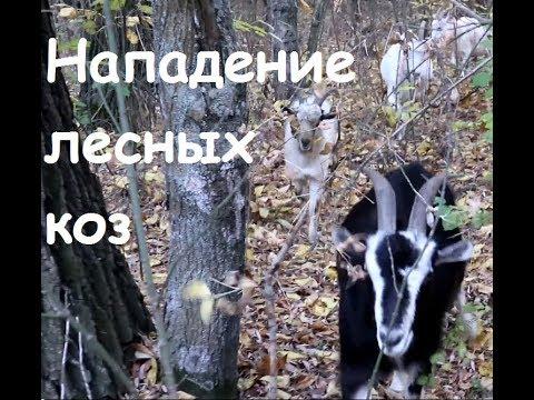 Нападение лесных коз