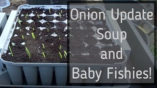 Onion Update, Soup's Up! & Baby Fish. January 2019