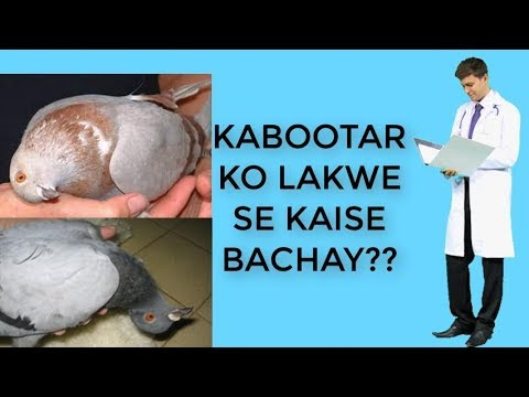 , title : 'HOW TO PREVENT PMV DISEASE IN PIGEON ? PIGEON TREATMENT EP-3