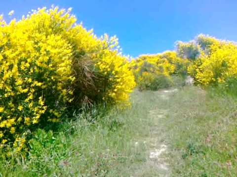 Le ginestre in fiore nel Parco del San Bartolo