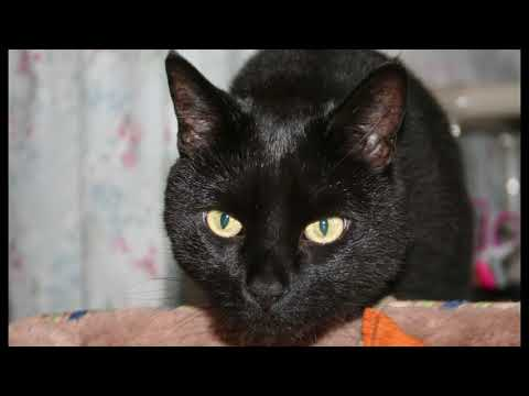 Glinda, an adopted Domestic Short Hair in Manchester, CT