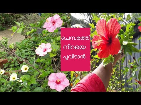 Hibiscus Plant Gardening Steps In Malayalam | Chembarthi ചെമ്പരത്തി നിറയെ പൂവിടാൻ