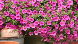 Production Tips for Growers: Million Bells Calibrachoa